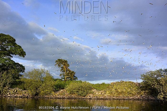 Black-headed Gull (Chroicocephalus ridibundus) flock, in flight, after being disturbed from colony at edge of reservoir, Killington Lake, Killington Beck, Cumbria, England, June  -  Wayne Hutchinson/ FLPA