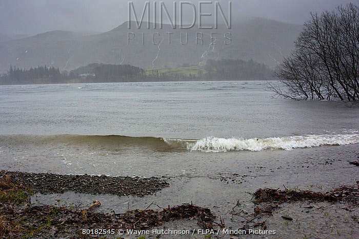Heavy rain and stormy conditions on reservoir, with swollen streams running down side of Helvelyn, Thirlmere, Lake District National Park, Cumbria, England, December  -  Wayne Hutchinson/ FLPA