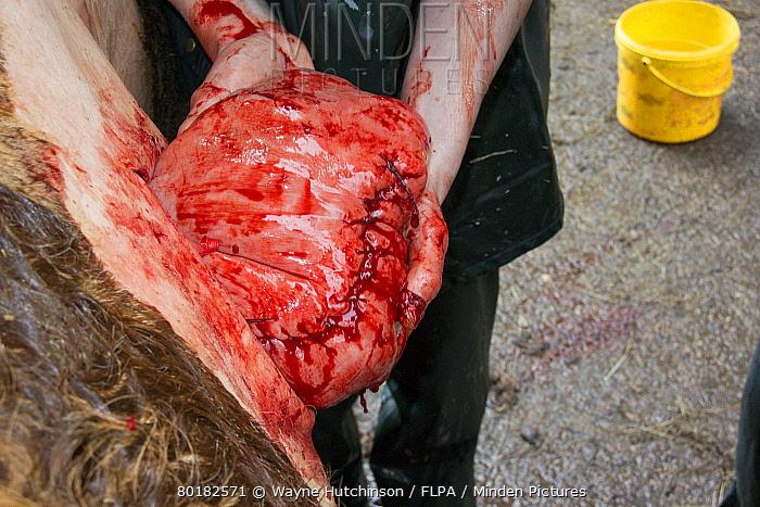 Cattle farming, vet stitching up cow uterus after caesarean calving, England, March  -  Wayne Hutchinson/ FLPA