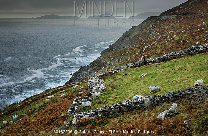 Domestic Sheep, flock grazing beside drystone wall on coastal pasture, Dingle Peninsula, County Kerry, Munster, Ireland, November  -  Robert Canis/ FLPA