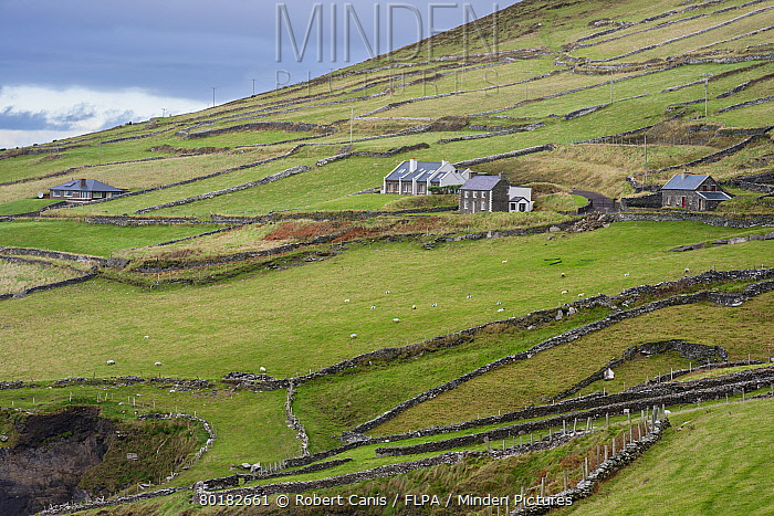 View of coastal farmland with drystone walls, houses and sheep grazing in pasture, Coumeenole North, Slea Head, Dingle Peninsula, County Kerry, Munster, Ireland, November  -  Robert Canis/ FLPA