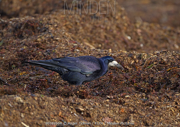 Rook (Corvus frugilegus) adult, foraging on beach strandline, Belfast Lough, County Antrim, Northern Ireland, February  -  Roger Tidman/ FLPA