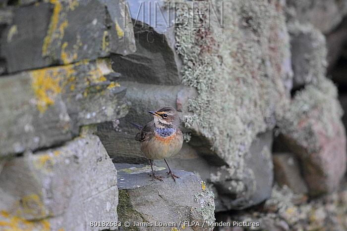 Bluethroat (Luscinia svecica svecica) immature male, first winter plumage, passage migrant standing on drystone wall, Fair Isle, Shetland Islands, Scotland, September  -  James Lowen/ FLPA