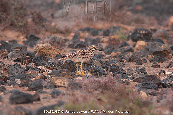 Eurasian Stone-curlew (Burhinus oedicnemus insularum) endemic subspecies, adult, standing amongst volcanic rocks, Teguise Plain, Lanzarote, Canary Islands, March  -  James Lowen/ FLPA