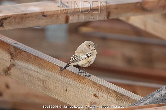 Desert Wheatear (Oenanthe deserti) immature female, first winter plumage, vagrant standing on wooden plank, Gorleston, Norfolk, England, November  -  James Lowen/ FLPA