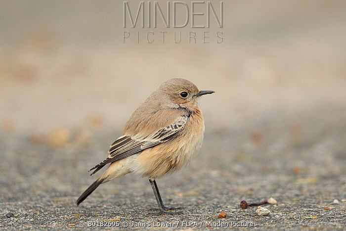 Desert Wheatear (Oenanthe deserti) immature female, first winter plumage, vagrant standing, Gorleston, Norfolk, England, November  -  James Lowen/ FLPA