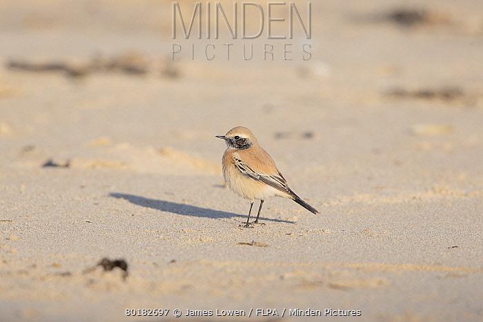 Desert Wheatear (Oenanthe deserti) immature male, first winter plumage, vagrant standing on sand, Winterton Dunes, Norfolk, England, December  -  James Lowen/ FLPA