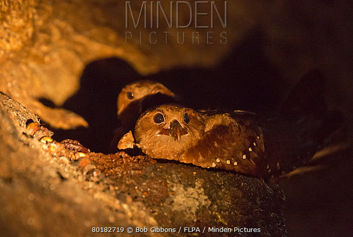 Oilbird (Steatornis caripensis) adults, at daytime roost in gorge, Trinidad, Trinidad and Tobago, February  -  Bob Gibbons/ FLPA