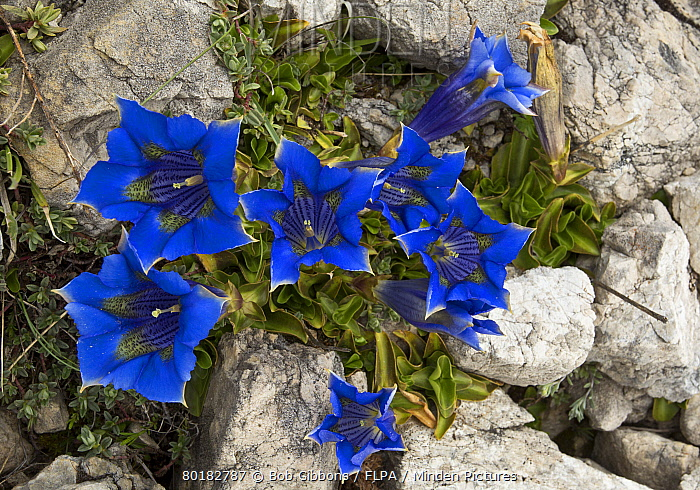 Ligurian Trumpet Gentian (Gentiana ligustica) flowering, Gran Sasso National Park, Apennines, Italy, May  -  Bob Gibbons/ FLPA