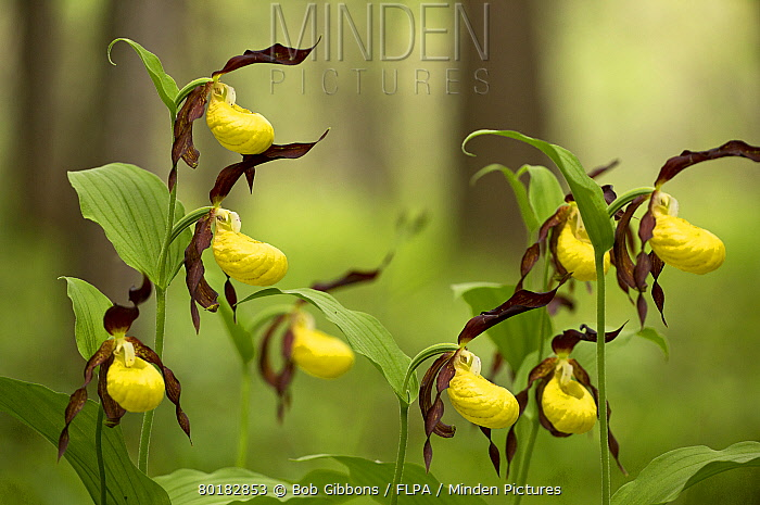 Minden pictures stock photos yellow ladys slipper orchid yellow ladys slipper orchid cypripedium calceolus flowering growing in woodland dolomites mightylinksfo