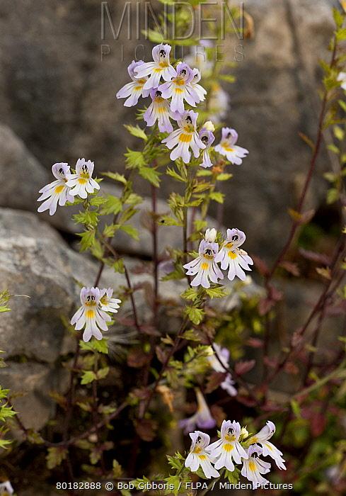 Large-flowered Sticky Eyebright (Euphrasia rostkoviana) flowering, Vercors, French Alps, France, August  -  Bob Gibbons/ FLPA