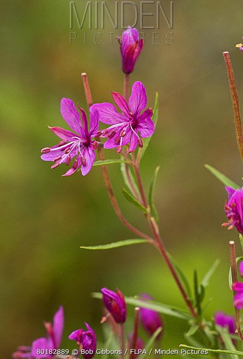 Alpine Willowherb (Epilobium dodonaei) flowering, French Alps, France, August  -  Bob Gibbons/ FLPA