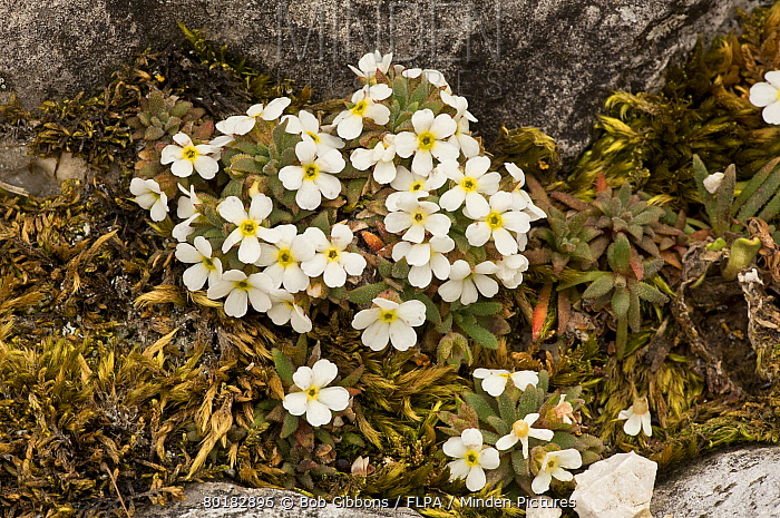 Dwarf Rock-jasmine (Androsace hausmannii) flowering, growing on dolomite rock, Dolomites, Italian Alps, Italy, June  -  Bob Gibbons/ FLPA