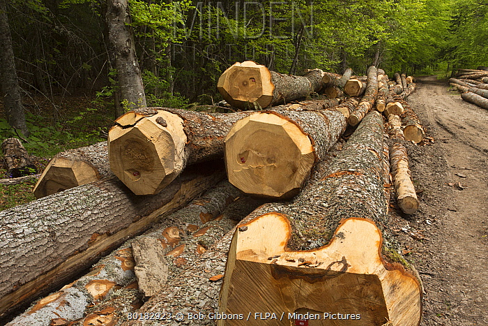 Large felled trunks of Norway Spruce (Picea abies) in forest, Vercors, French Alps, France, May  -  Bob Gibbons/ FLPA