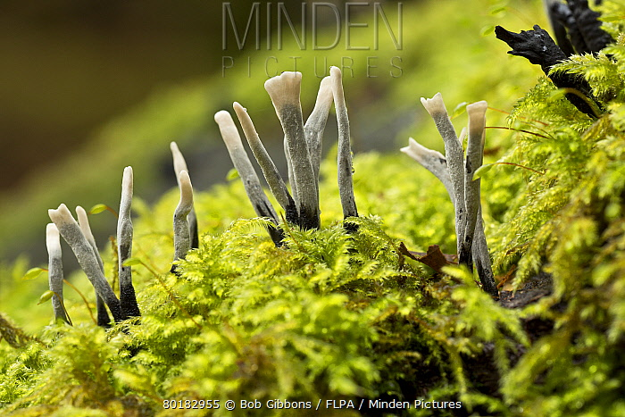 Candle-snuff Fungus (Xylaria hypoxylon) fruiting bodies, growing on mossy log, Wiltshire, England, November  -  Bob Gibbons/ FLPA