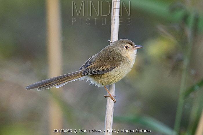 Plain Prinia (Prinia inornata extensicauda) adult, perched on reed stem, Hong Kong, China, November  -  John Holmes/ FLPA