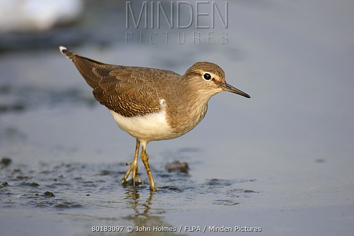 Common Sandpiper (Actitis hypoleucos) juvenile, walking in shallow water, Hong Kong, China, October  -  John Holmes/ FLPA