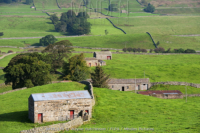 View of drystone walls and stone barns in farmland, Hawes, Wensleydale, Yorkshire Dales National Park, North Yorkshire, England, September  -  Wayne Hutchinson/ FLPA