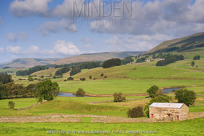 View of drystone walls and stone barn in valley farmland, River Ure, near Hawes, Wensleydale, Yorkshire Dales National Park, North Yorkshire, England, September  -  Wayne Hutchinson/ FLPA