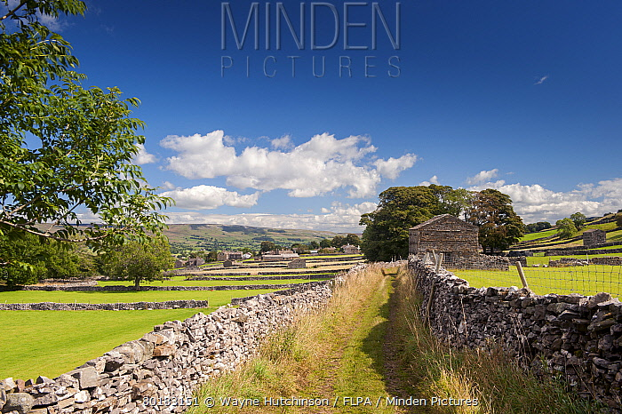 Lane in farmland with drystone walls and stone barns, looking towards towards Burtersett, Shaws Lane, near Hawes, Wensleydale, Yorkshire Dales National Park, North Yorkshire, England, August  -  Wayne Hutchinson/ FLPA