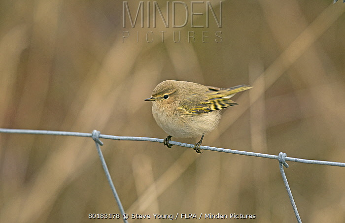 Siberian Chiffchaff (Phylloscopus collybita tristis) adult, vagrant perched on wire fence, Burton Marsh, Burton Mere Wetlands RSPB Reserve, Dee Estuary, Cheshire, England, January  -  Steve Young/ FLPA