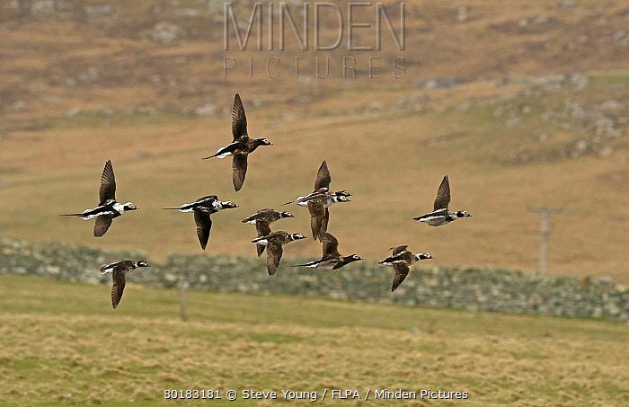 Long-tailed Duck (Clangula hyemalis) flock, mixed plumages, in flight, Shetland Islands, Scotland, April  -  Steve Young/ FLPA