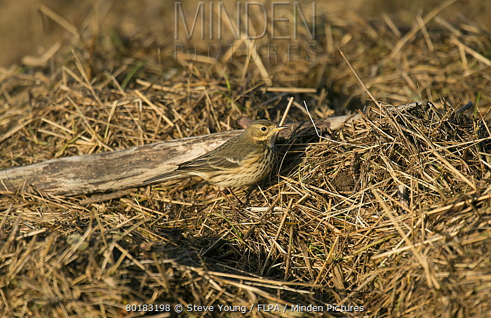 Buff-bellied Pipit (Anthus rubescens rubescens) 'American Pipit' nominate subspecies, adult, non-breeding plumage, vagrant standing on tidal wrack, Burton Marsh, Burton Mere Wetlands RSPB Reserve, Dee Estuary, Cheshire, England, January  -  Steve Young/ FLPA