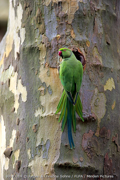Rose-ringed Parakeet (Psittacula krameri) introduced species, adult female, at nesthole in tree trunk, Mannheim, Baden-Wurttemberg, Germany, February  -  Jurgen and Christine Sohns/ FLPA