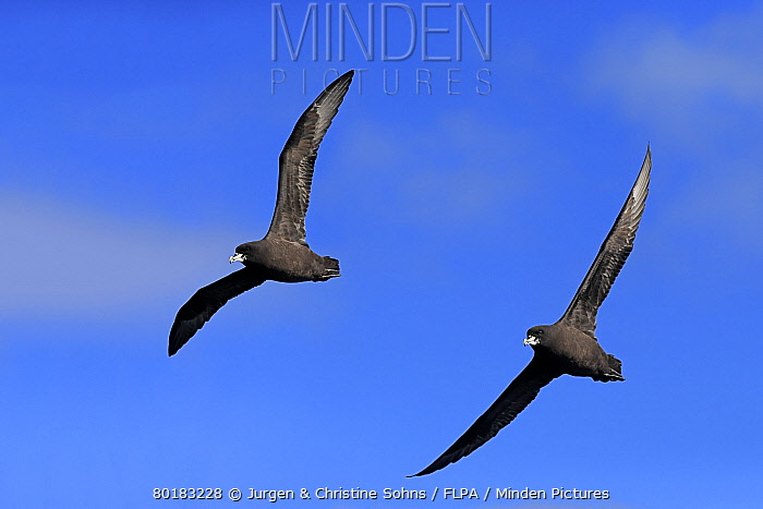 White-chinned Petrel (Procellaria aequinoctialis) adult pair, in flight, Cape of Good Hope, Western Cape, South Africa, June  -  Jurgen and Christine Sohns/ FLPA