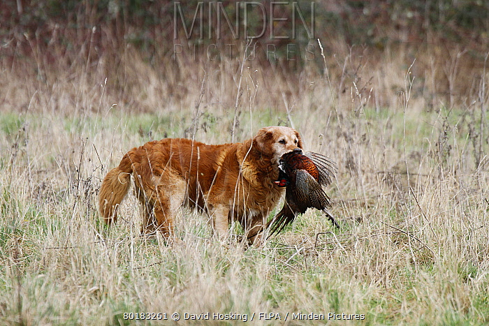 Golden Labrador carrying a cock pheasant  -  David Hosking/ FLPA