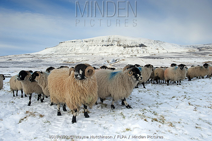 Domestic Sheep, Dalesbred flock, standing on snow covered moorland, near Pen-y-ghent, Yorkshire Dales National Park, North Yorkshire, England, January  -  Wayne Hutchinson/ FLPA