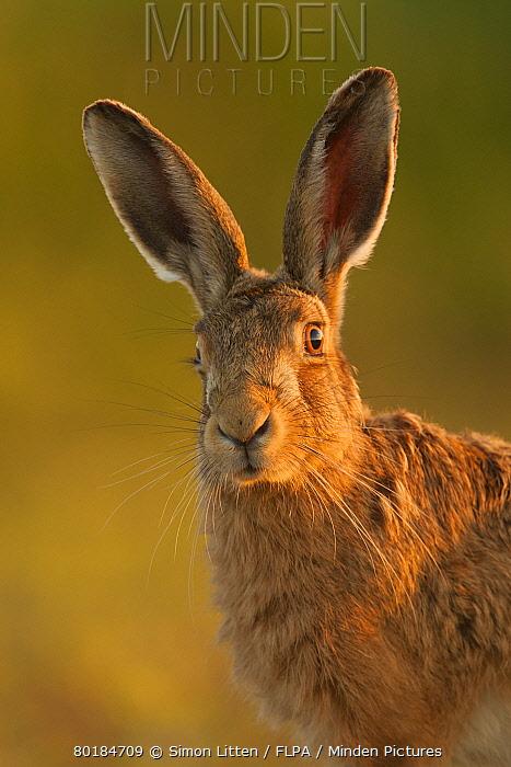 European Hare (Lepus europaeus) adult, alert, close-up of head, in evening sunlight, Norfolk, England, May  -  Simon Litten/ FLPA
