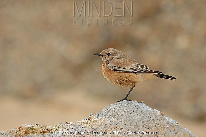 Desert Wheatear (Oenanthe deserti) immature female, first winter plumage, vagrant standing on concrete, Norfolk, England, November  -  Robin Chittenden/ FLPA