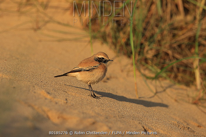 Desert Wheatear (Oenanthe deserti) immature male, first winter plumage, vagrant standing on sand, Norfolk, England, December  -  Robin Chittenden/ FLPA