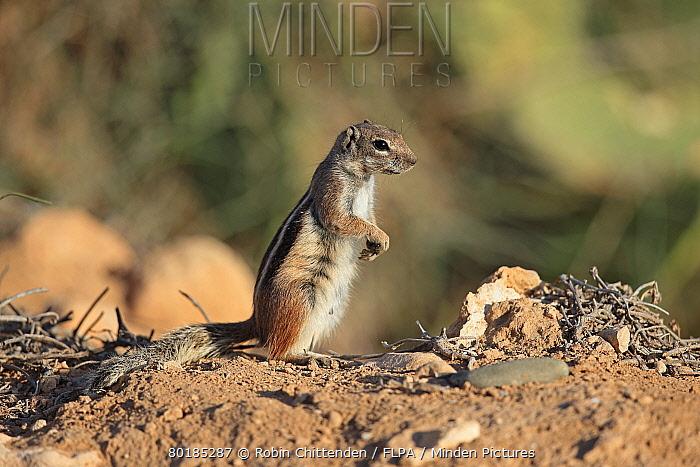 Barbary Ground Squirrel (Atlantoxerus getulus) adult, standing on hind legs, Morocco, November  -  Robin Chittenden/ FLPA