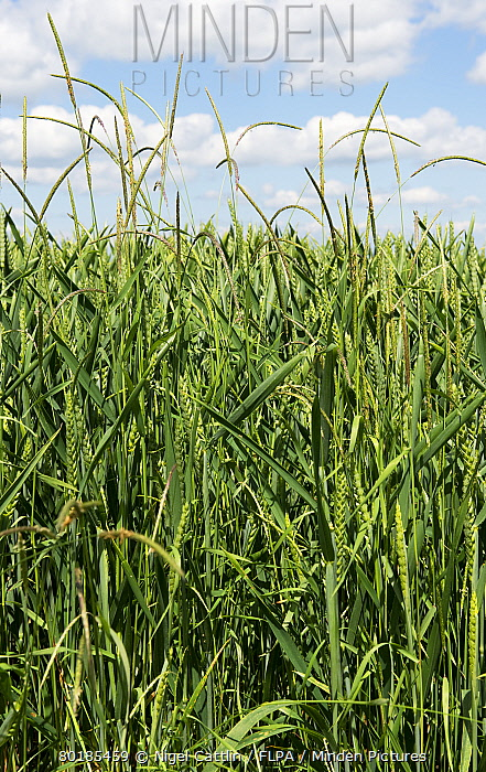 Blackgrass, Alopecurus myosuroides, flowering grass spikes in wheat crop in early ear, Berkshire, England, June  -  Nigel Cattlin/ FLPA