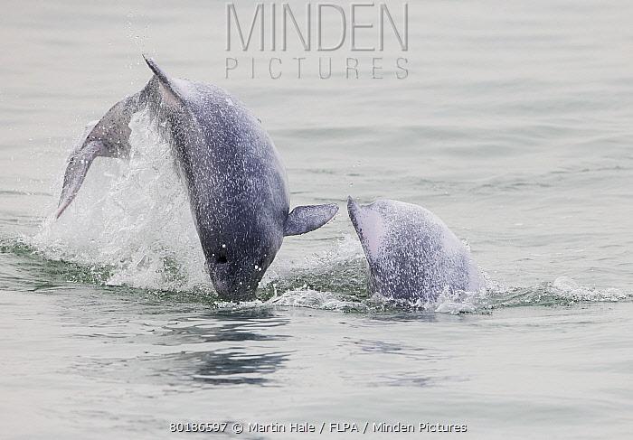 Indo-Pacific Humpback Dolphin (Sousa chinensis chinensis) two juveniles, leaping from water, Hong Kong, China, February  -  Martin Hale/ FLPA