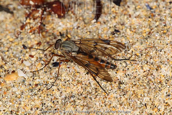 Downlooker Snipefly (Rhagio scolopaceus) adult, resting on beach, Isle Of Coll, Inner Hebrides, Scotland, June  -  Steve Trewhella/ FLPA