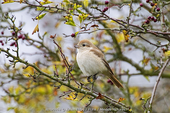 Isabelline Shrike (Lanius isabellinus) juvenile, vagrant perched on twig, Norfolk, England, October