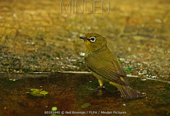 Cape White-eye (Zosterops virens) adult, bathing in pool, Dlinza Forest, Eshowe, Zululand, South Africa, November