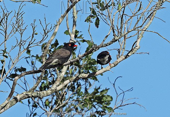 Retz's Helmetshrike (Prionops retzii tricolor) two adults, perched in tree, Tembe Elephant Park, Maputaland, KwaZulu-Natal, South Africa, November