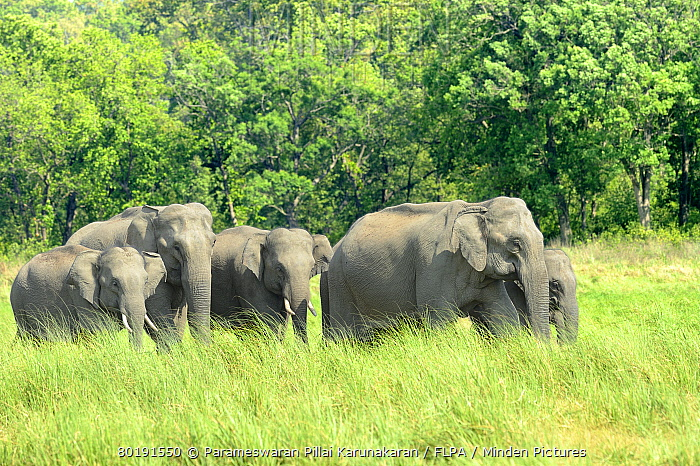 Asian Elephant (Elephas maximus indicus) adult females, immatures and calves, herd emerging from forest into grassland, Jim Corbett N.P., Uttarkhand, India, May