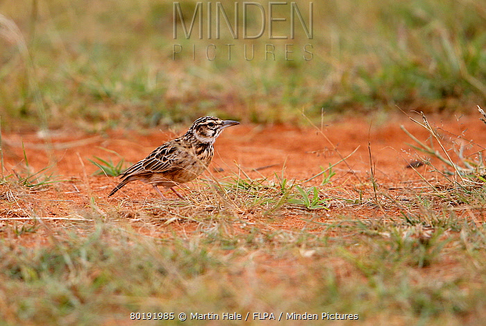 Minden Pictures stock photos - Short-tailed Lark