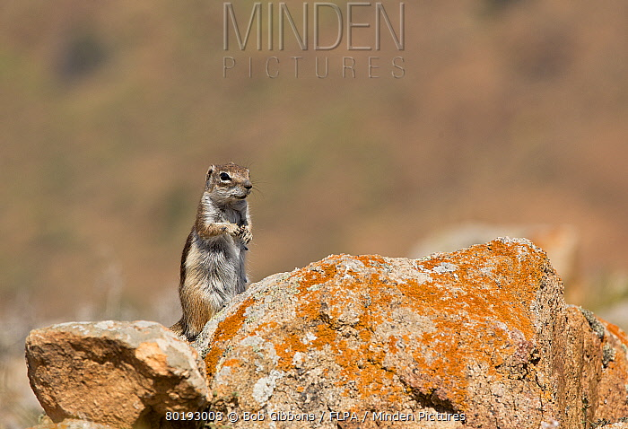 Barbary Ground Squirrel (Atlantoxerus getulus) introduced species, adult, standing on rock, Fuerteventura, Canary Islands, March