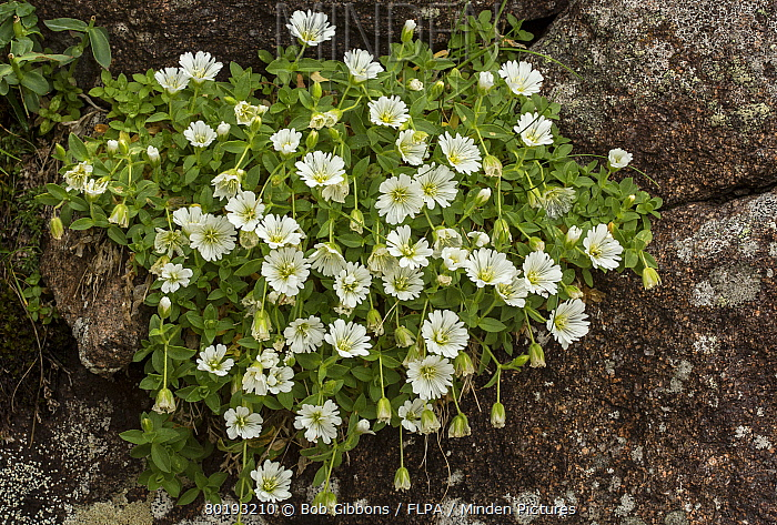 Glacier Mouse-ear (Cerastium uniflorum) flowering, growing on acid rock at high altitude, Italian Alps, Italy, July