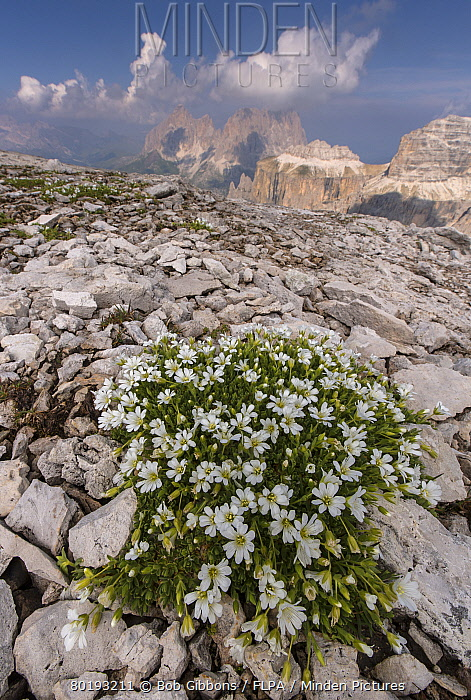 Glacier Mouse-ear (Cerastium uniflorum) flowering, growing at high altitude on dolomitic rock (at 2700m), Dolomites, Italian Alps, Italy, July