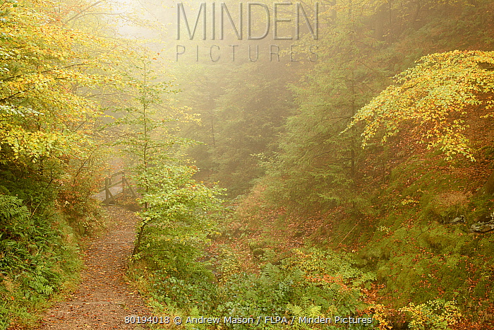 Common Beech (Fagus sylvatica) woodland habitat in mist at dawn, with leaves in autumn colour, Porter Clough, Sheffield, South Yorkshire, England, October