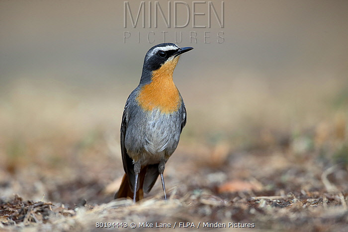 Cape Robin-chat (Cossypha caffra) adult, standing on ground, South Africa