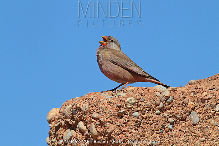 Trumpeter Finch (Bucanetes githagineus) adult male, breeding plumage, singing, Morocco, March