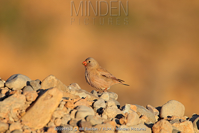 Trumpeter Finch (Bucanetes githagineus) adult male, breeding plumage, standing on rocks, Boulmane, Atlas Mountains, Morocco, March